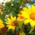 Hoa dã quỳ, một màu vàng dân dã