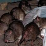 Thịt chuột hô biến thành… thịt cừu ở Trung Quốc