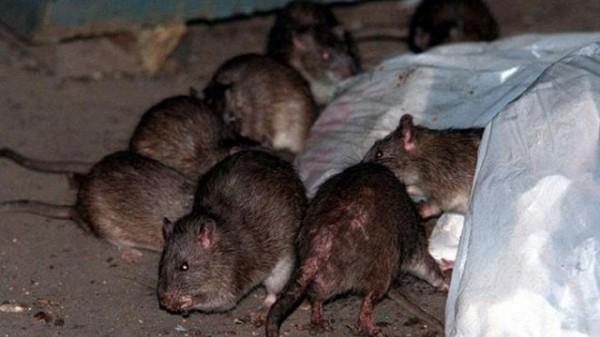 china-rats