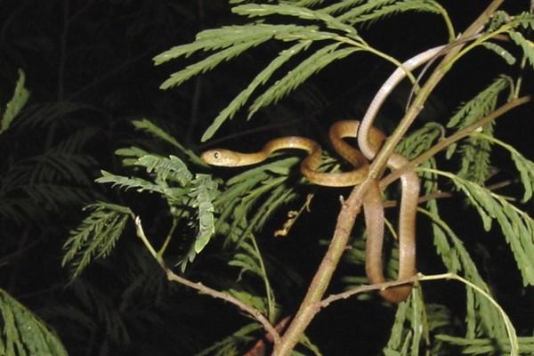 Brown Tree Snake-us-guam