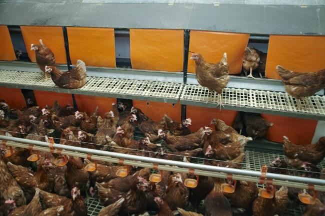 Free-range-hens-2