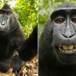 Rắc rối pháp lý khi chú khỉ chụp ảnh tự sướng