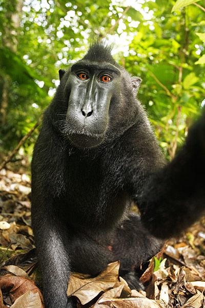 selfie-cheeky macaque-2011-02