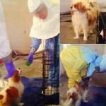 Chú chó Bentley của nữ y tá Nina Phạm bắt đầu được xét nghiệm Ebola