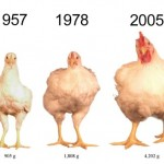 Những chú gà ngày càng thêm phát tướng