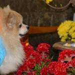 VIDEO: Chó Pom Pom làm đẹp