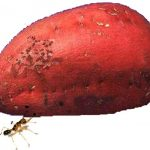 Con kiến và củ khoai
